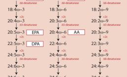 Syntheseroutes van de n-3-, n-6- en n-9-vetzuurreeksen