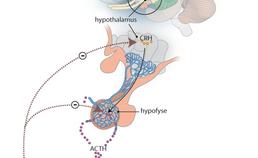 De hypothalamus-hypofyse-bijnieras
