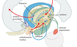 Corticostriato- thalamo-corticale circuit