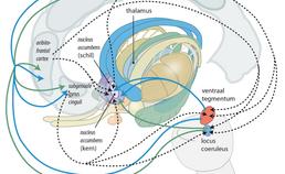 Schematische weergave van de innervatie van de kern en de schil van de nucleus accumbens