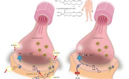 Negatieve feedback van de neurotransmissie door het endocannabinoïdsysteem