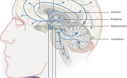 Het serotonerge systeem