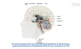De werking van serotonine, SSRI's en het serotoninesyndroom