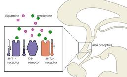 Het effect van serotonine en dopamine op de neuronen in de preoptische hypothalamus