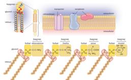 Rol van fosfolipiden in de bouw van het celmembraan