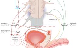 Neutrale paden en neurotransmitters betrokken bij de ejaculatie