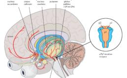 Nicotine stimuleert de dopaminerge neurotransmissie